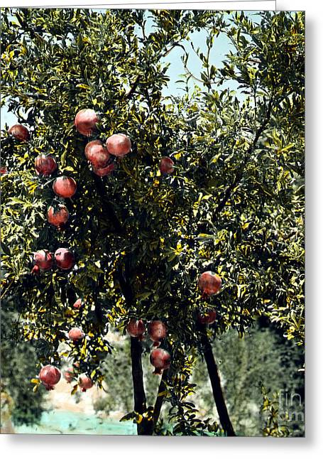 Biology Greeting Cards - Pomegranate Tree Greeting Card by Granger