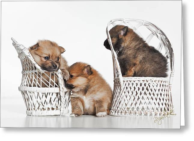 Puppies Greeting Cards - Pomeranian 3 Greeting Card by Everet Regal
