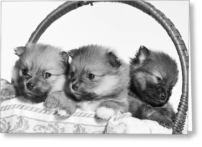 Puppies Photographs Greeting Cards - Pomeranian Greeting Card by Everet Regal