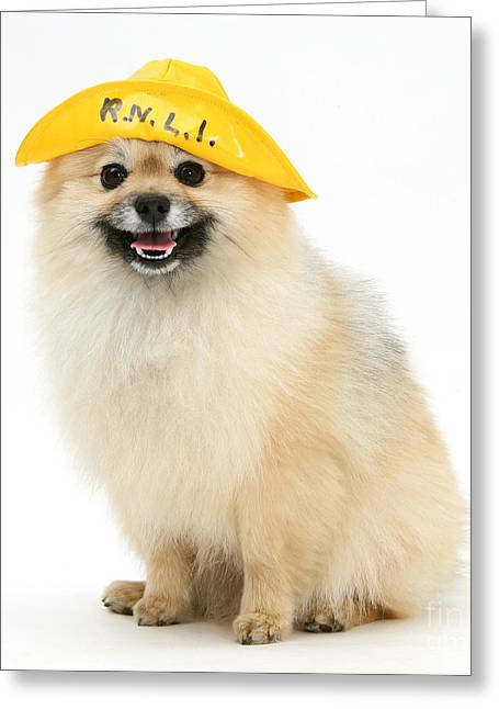 Dog Clothes Greeting Cards - Pomeranian Sailor Greeting Card by Mark Taylor