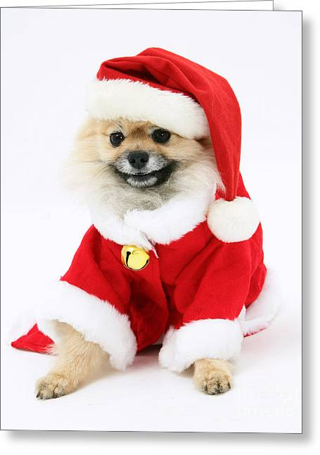 Outfit Greeting Cards - Pomeranian Santa Greeting Card by Mark Taylor