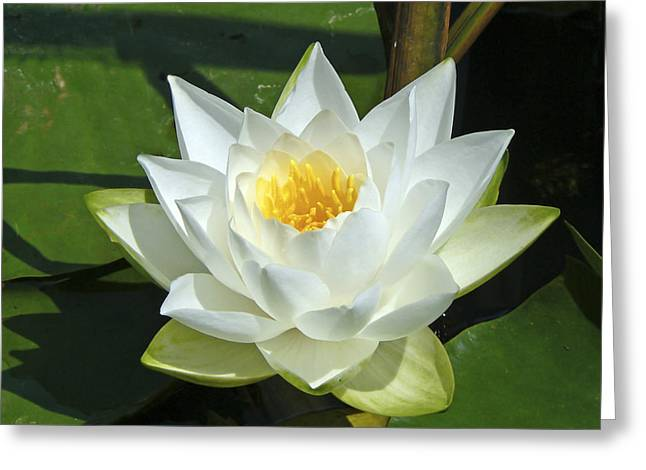 Lotus Full Bloom Greeting Cards - Pond Lily Greeting Card by Pamela Patch