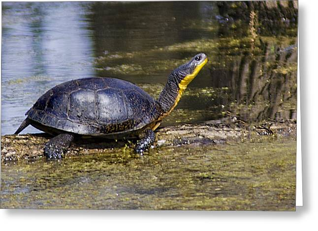 Pond Turtle Basking In The Sun Greeting Card by LeeAnn McLaneGoetz McLaneGoetzStudioLLCcom