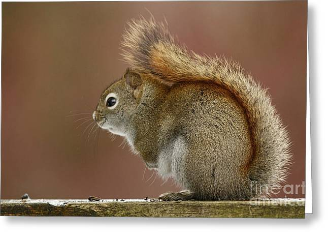 Shelley Myke Greeting Cards - Pondering Red Squirrel Greeting Card by Inspired Nature Photography By Shelley Myke