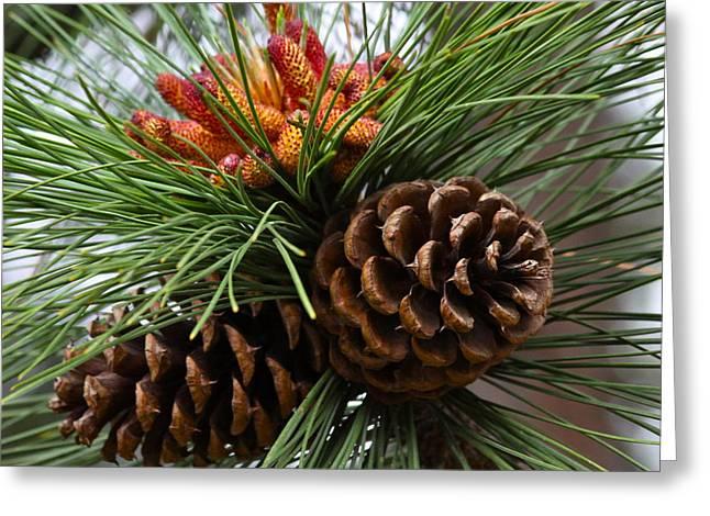 Ponderosa Greeting Cards - Ponderosa Pine Cones Greeting Card by Karon Melillo DeVega