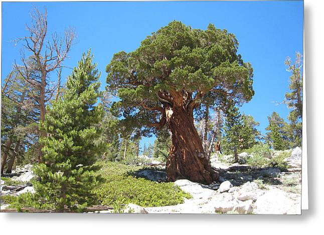 Ponderosa Pine Greeting Card by Kirk Williams