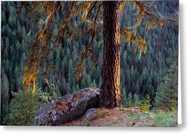 Ponderosa Greeting Cards - Ponderosa Pine Greeting Card by Leland D Howard