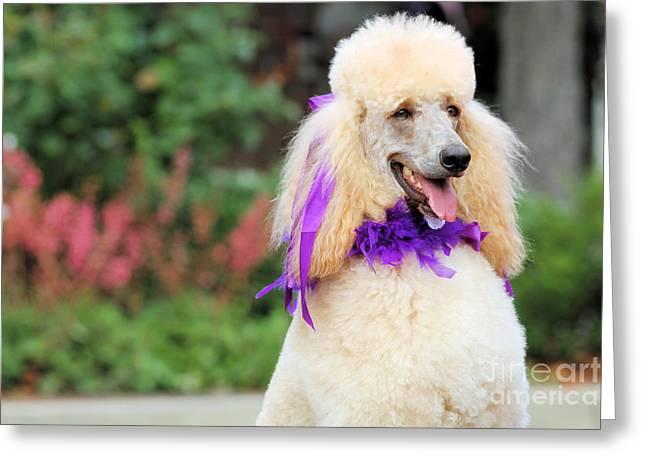 Carmel Greeting Cards - Poodle 3 Greeting Card by Renae Laughner