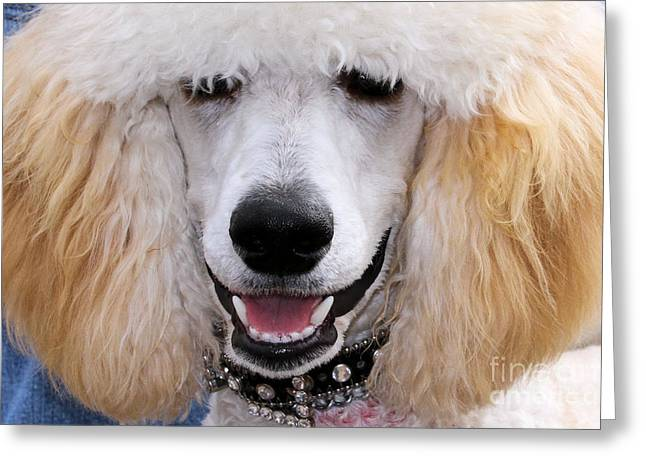 Carmel Greeting Cards - Poodle 9 Greeting Card by Renae Laughner