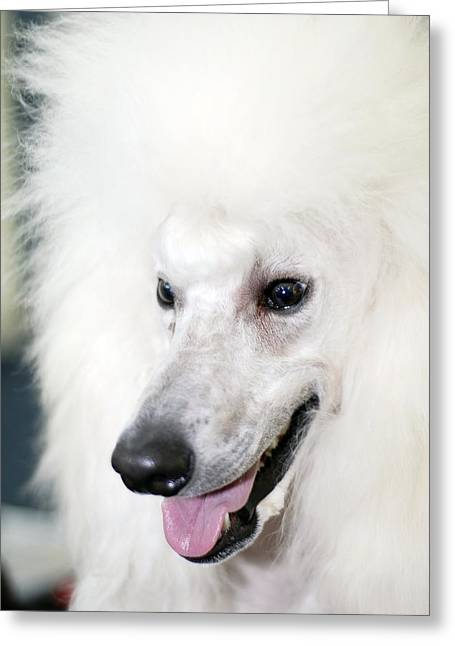 Gundog Greeting Cards - Poodle Greeting Card by Photostock-israel