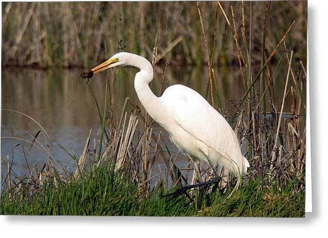 Herodias Greeting Cards - Poor mouse being lunch for a heron Greeting Card by Jean Noren