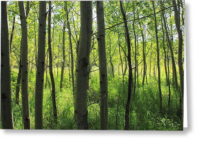 Poplar Grove Greeting Card by Jim Sauchyn