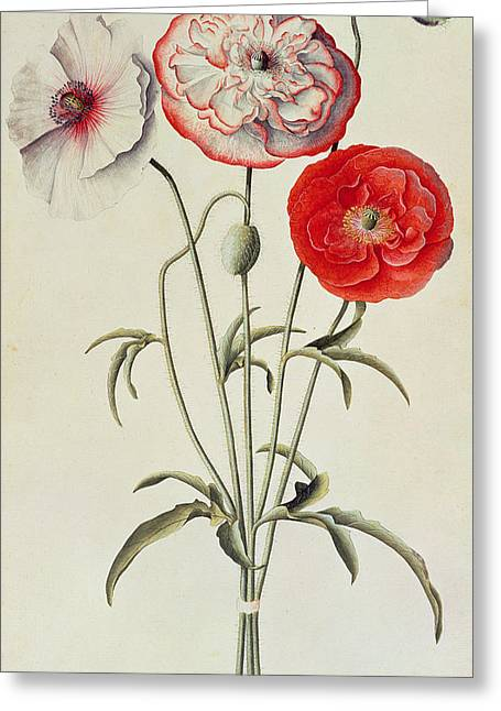 Blue Flowers Greeting Cards - Poppies Corn Greeting Card by Georg Dionysius Ehret
