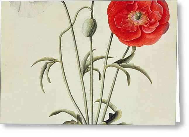 Poppies Corn Greeting Card by Georg Dionysius Ehret