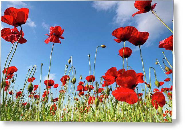 Poppy Photographs Greeting Cards - Poppies Season Greeting Card by Evgeni Dinev