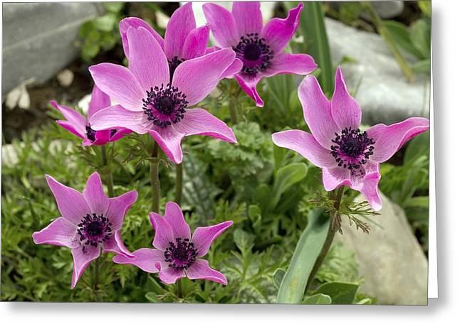 Anemone Coronaria Greeting Cards - Poppy Anemone Flowers (anemone Coronaria) Greeting Card by Bob Gibbons