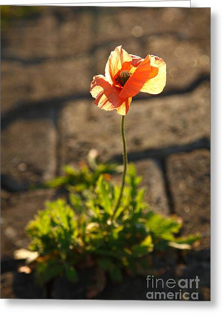 Warm Tones Greeting Cards - Poppy blooming Greeting Card by Gaspar Avila