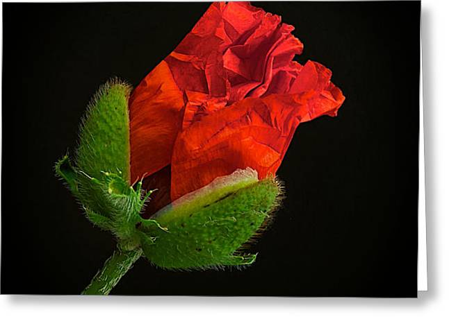 Poppy Bud Greeting Card by Toni Chanelle Paisley
