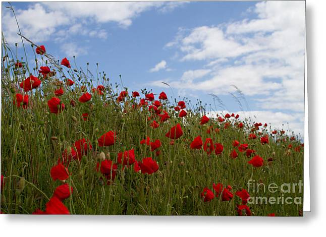 Ypres Greeting Cards - Poppy Fields Greeting Card by Paul Holman