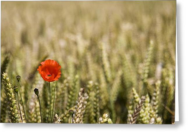 Color Focus Greeting Cards - Poppy Flower In Field Of Wheat Greeting Card by John Short