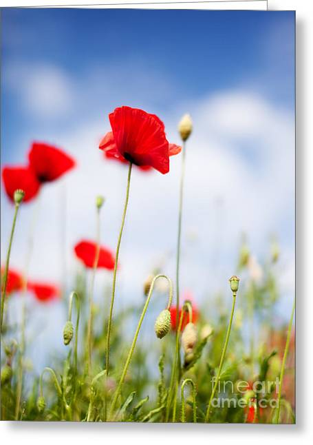 Botanicals Greeting Cards - Poppy Flowers 06 Greeting Card by Nailia Schwarz