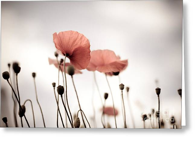 Blossoming Greeting Cards - Poppy Flowers 16 Greeting Card by Nailia Schwarz