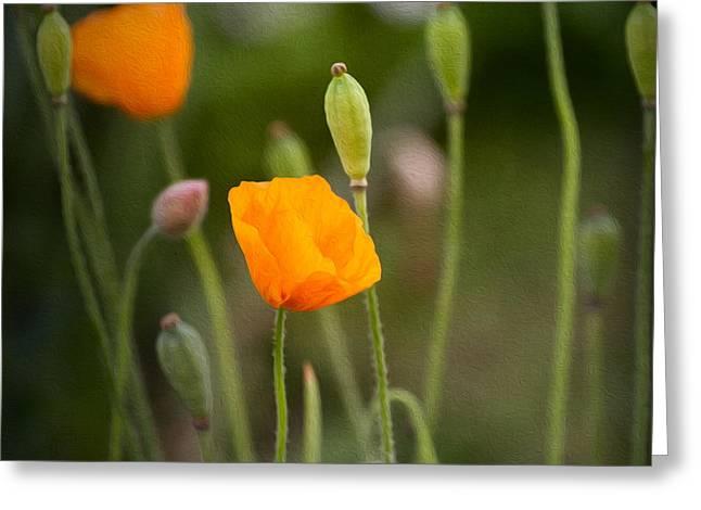 Orange Poppy Greeting Cards - Poppy Flowers Greeting Card by Ian Barber