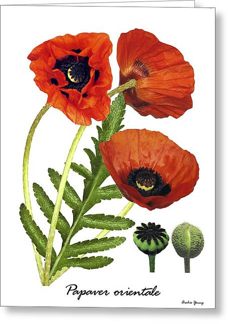 Papaver Orientale Greeting Cards - Poppy (papaver Orientale) Greeting Card by Archie Young