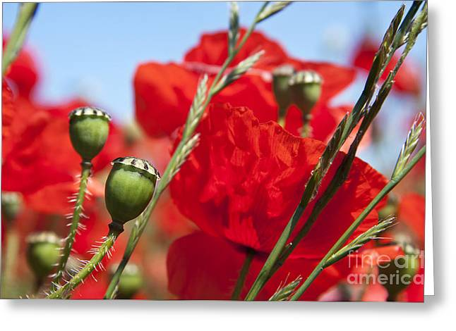 Bud Greeting Cards - Poppy pods Greeting Card by Jane Rix