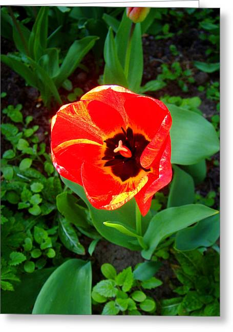 Roberto Alamino Greeting Cards - Poppy Greeting Card by Roberto Alamino