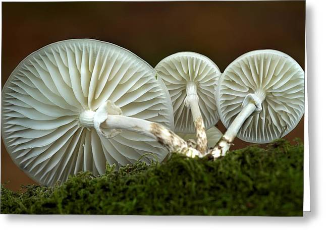 3 October Greeting Cards - Porcelain Mushroom (oudemansiella Mucida) Greeting Card by Colin Varndell