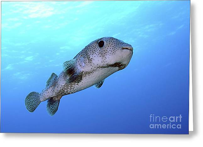 Balloonfish Greeting Cards - Porcupine Fish In Swimming Greeting Card by Karen Doody