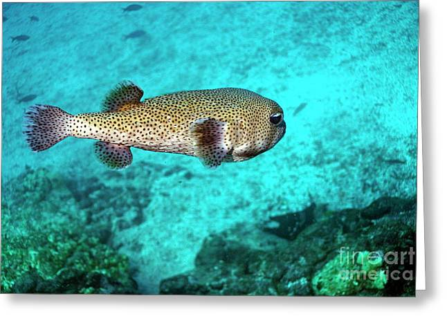 Balloonfish Greeting Cards - Porcupine fish Greeting Card by Sami Sarkis