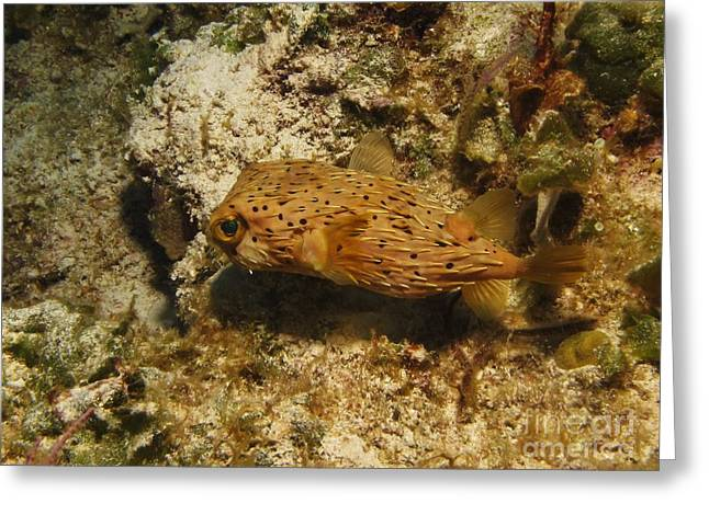 Porcupinefish Greeting Cards - Porcupinefish - Turks and Caicos Greeting Card by William Miller