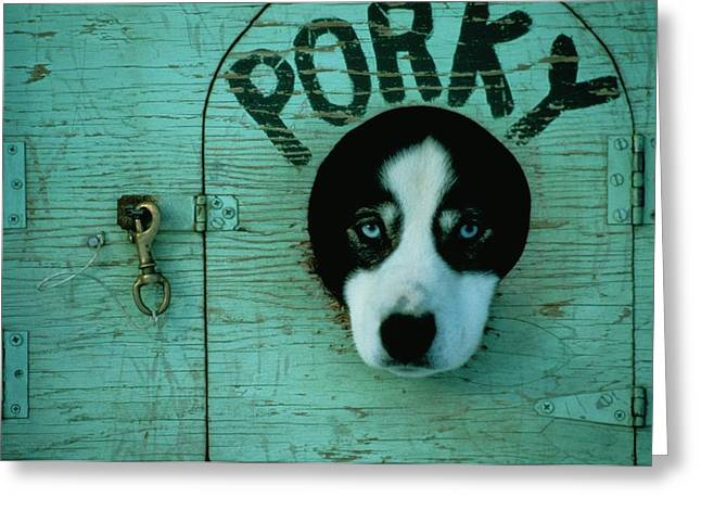 Husky Greeting Cards - Porky Is One Of Jan Masseks Race Dogs Greeting Card by Chris Johns