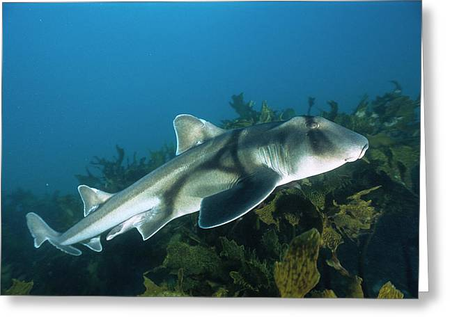 Jervis Greeting Cards - Port Jackson Shark Heterodontus Greeting Card by Mike Parry