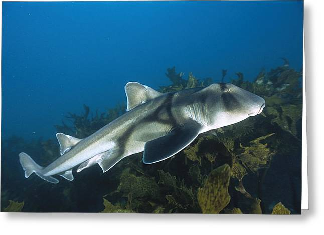 Jervis Greeting Cards - Port Jackson Shark Greeting Card by Mike Parry