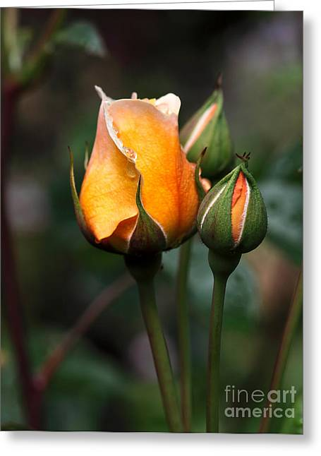 Apricot Greeting Cards - Port Sunlight Greeting Card by Louise Heusinkveld