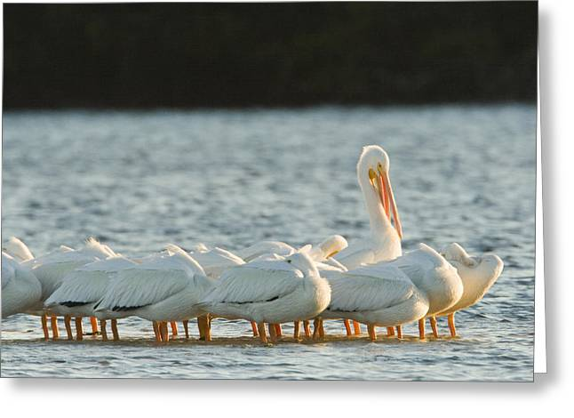 American White Pelican (pelecanus Erythrorhynchos) Greeting Cards - Portrai Of American White Pelicans Greeting Card by Tim Laman