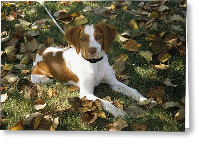 Spaniel Greeting Cards - Portrait Of A Brittany Spaniel Puppy Greeting Card by Paul Damien