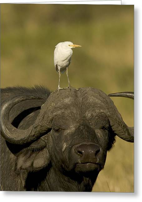 Cattle Egret Greeting Cards - Portrait Of A Cape Buffalo Greeting Card by Roy Toft