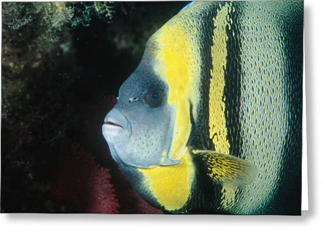 Reef Fish Greeting Cards - Portrait Of A Cortez Angelfish Greeting Card by James Forte