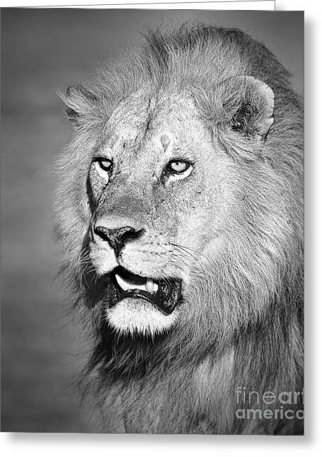 Panthera Leo Greeting Cards - Portrait of a Lion Greeting Card by Richard Garvey-Williams