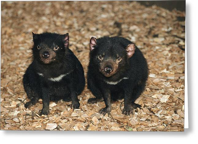 Tasmanian Greeting Cards - Portrait Of A Pair Of Tasmanian Devils Greeting Card by Joe Stancampiano