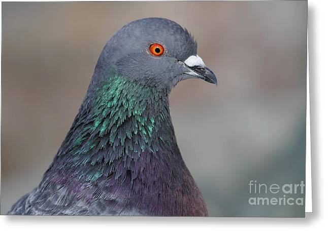 Pijuns Greeting Cards - Portrait of a Pigeon . 7D12327 Greeting Card by Wingsdomain Art and Photography