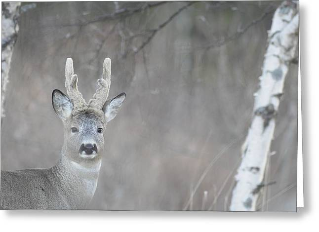 Portrait Of A Roe Buck Greeting Card by Ulrich Kunst And Bettina Scheidulin