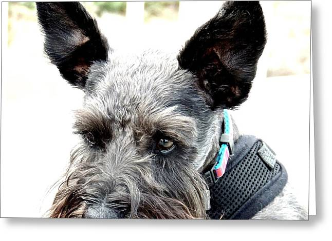 Scotty Dog Greeting Cards - Portrait of a Scotty Greeting Card by Brian D Meredith