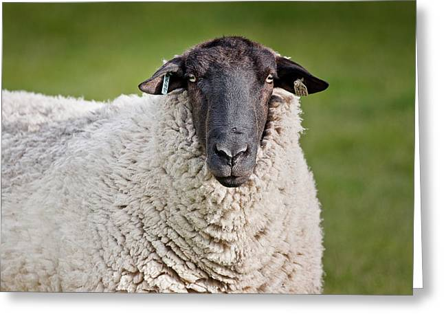 Portrait Of A Sheep Greeting Card by Greg Nyquist