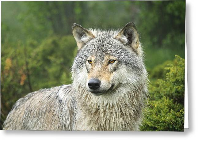 Norge Greeting Cards - Portrait of a wolf Greeting Card by Andy-Kim Moeller