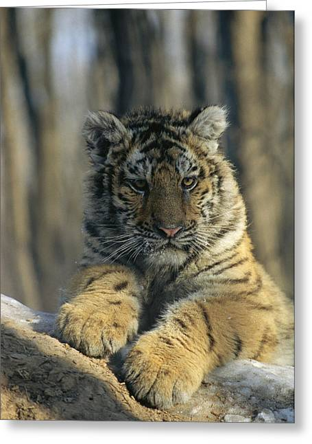 The Tiger Greeting Cards - Portrait Of A Young Male Siberian Tiger Greeting Card by Marc Moritsch